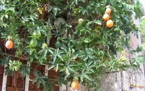 Plantas medicinales a tu salud pasionaria for Infos jardin