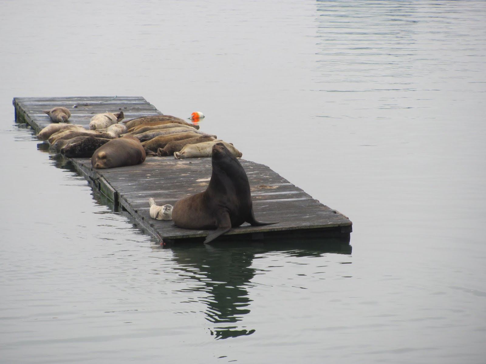 Adult seal and a number of pups laying on a dock at Anchor Bay, California