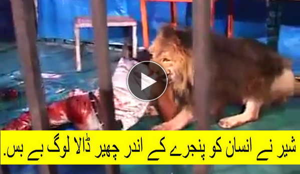 Hungary Lion Eats a Man in the Cage Watch Shocking Video