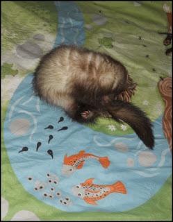 Fretti ferret sängyllä