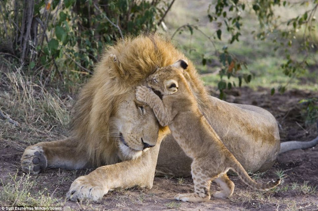 Lion cub meets his dad for the first time on Kenya, a kiss for dad in head