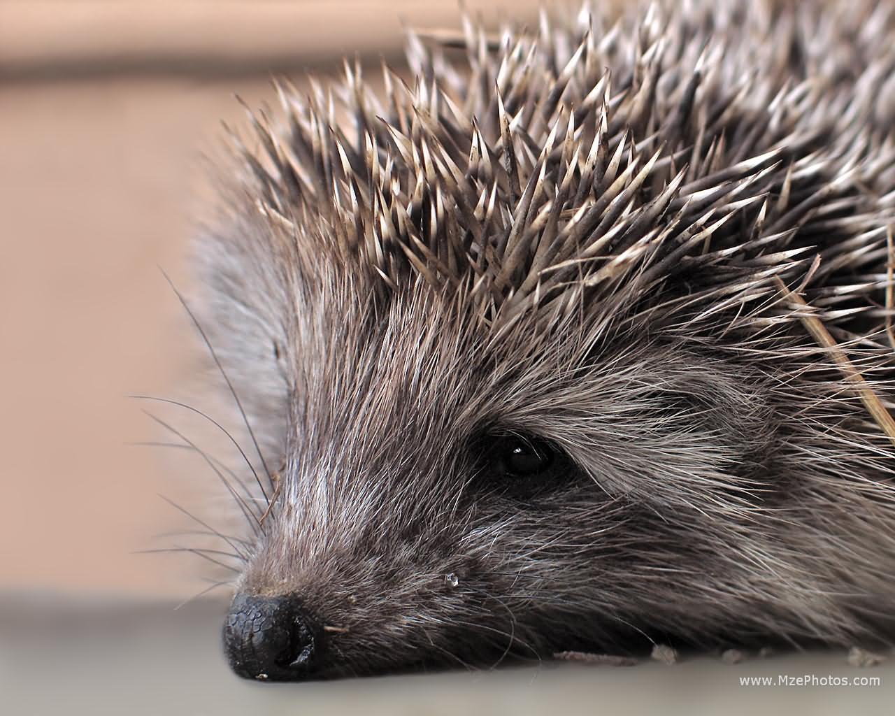 funny baby hedgehog wallpaper for desktop funny animal