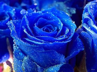 blue roses flower
