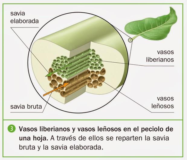 La savia procesos vitales en las plantas for Imagenes de las partes del arbol