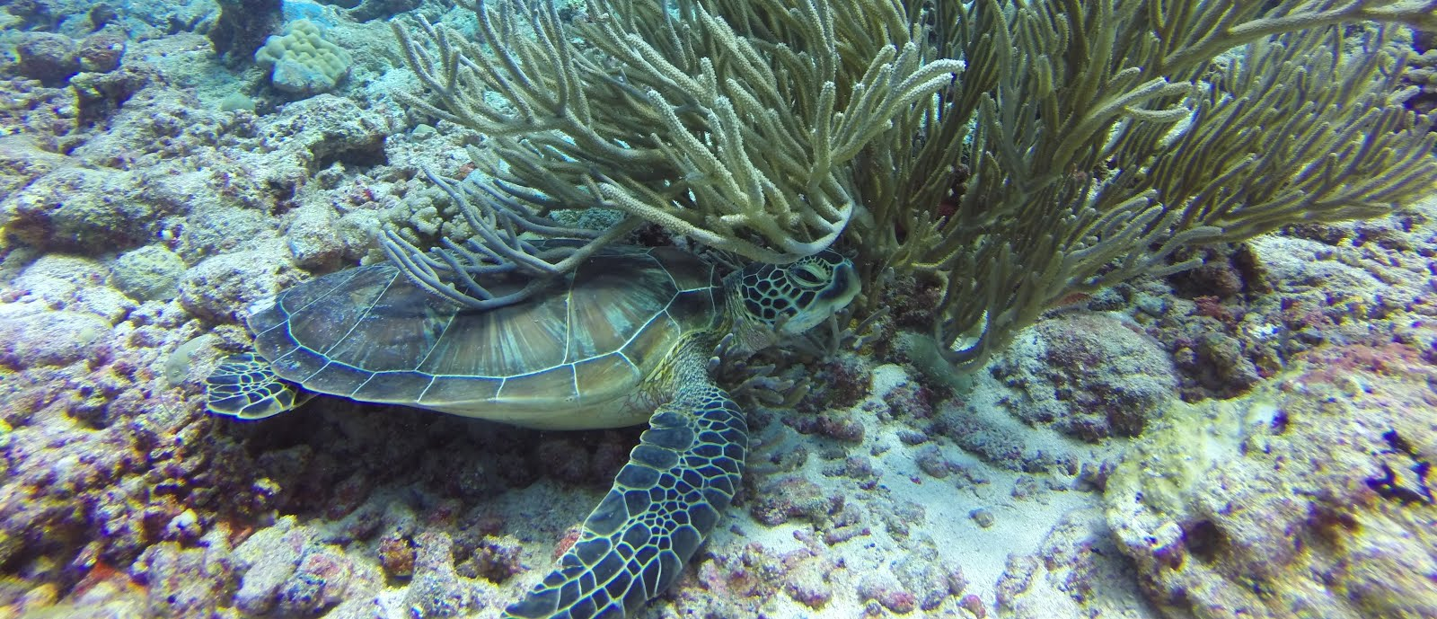 Turtle chilling on the reef, Palau