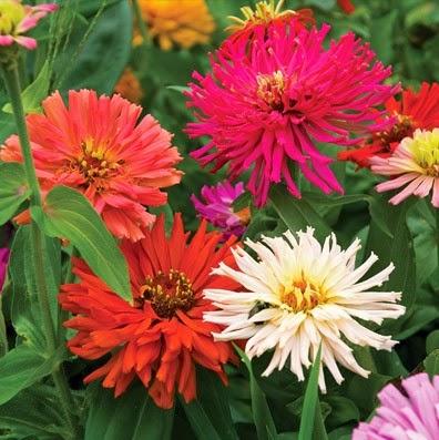 Gambar Bunga Zinnia atau Bunga Kertas