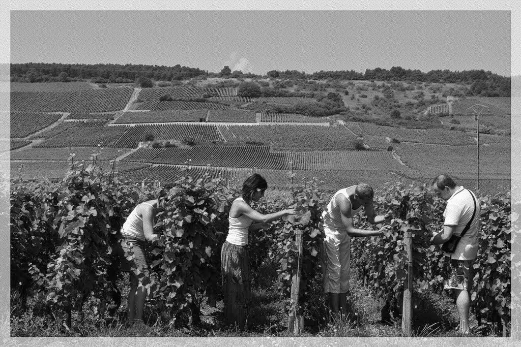 Effeuillage des vignes