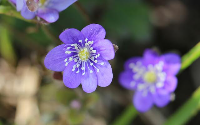Blå anemone