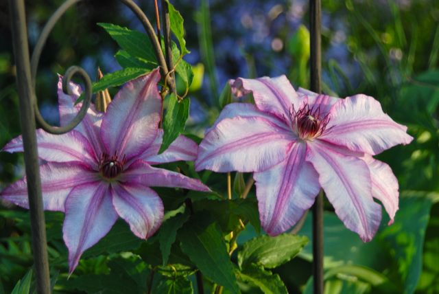 One of my favorite Clematis, C. 'John Warren' on the flower trellis in the Driveway Garden.