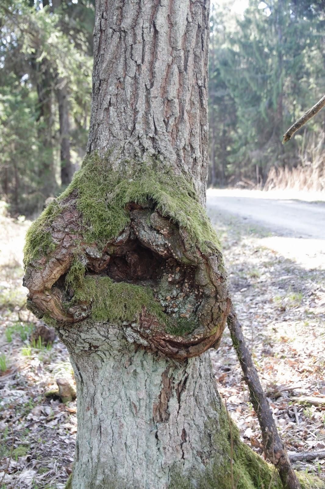 Tädun_puu2