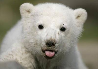 IMÁGENES Y FOTOS DE ANIMALES: Osos polares bebés