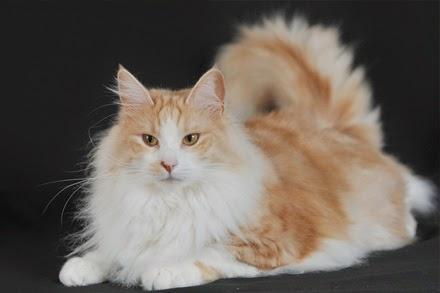 Foto dan Gambar Kucing Anggora yang lucu