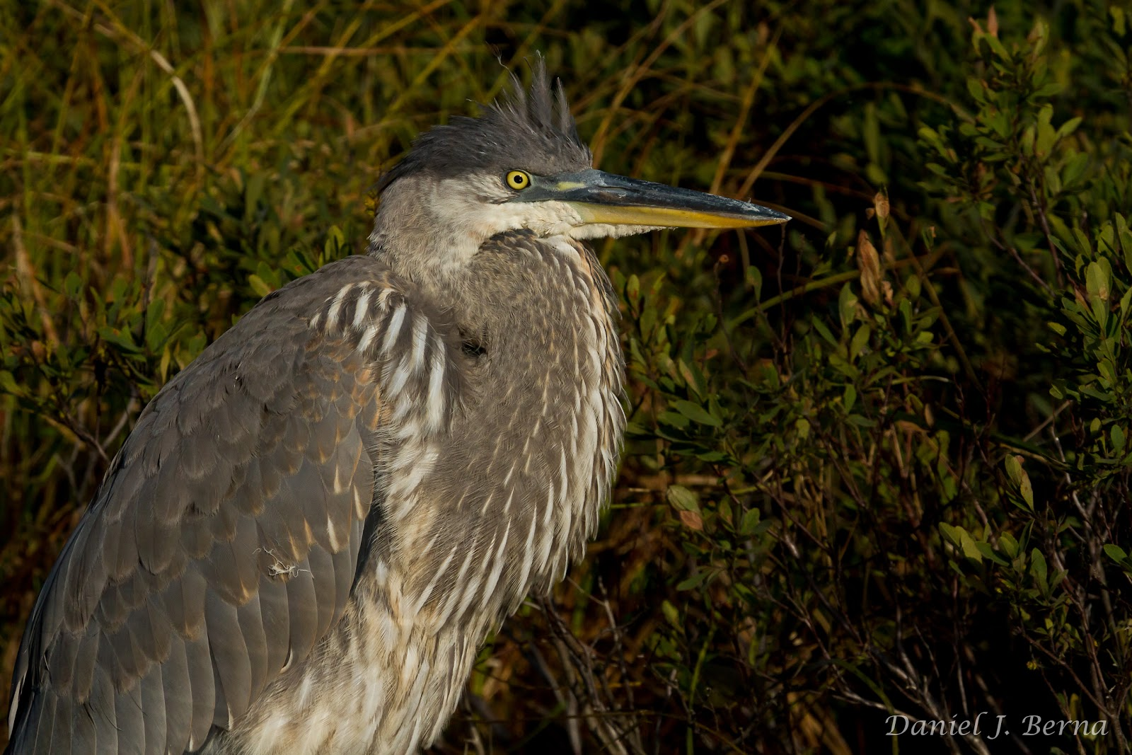 Photographing Juvenile Great Blue Heron >> Daniel Berna Photography Great Blue Heron Juvenile