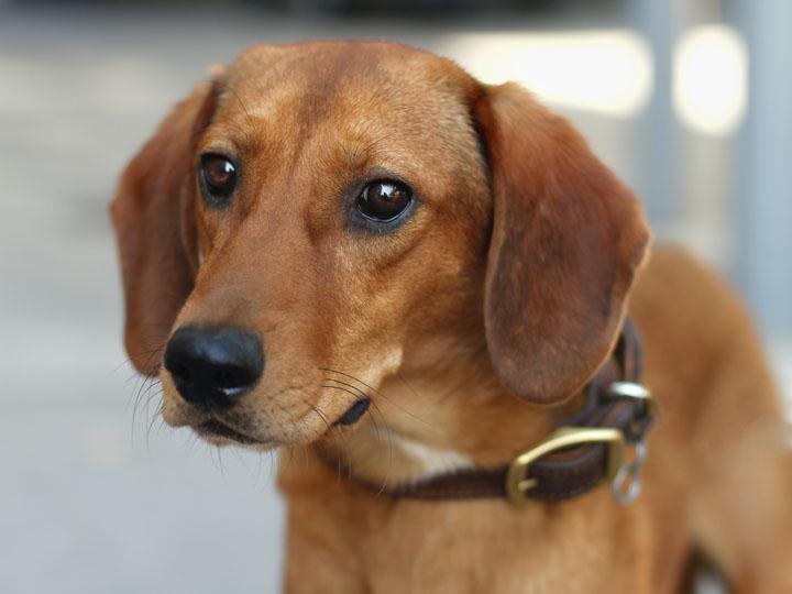 Redbone Coonhound German Shepherd Mix Rusty - beagle mix