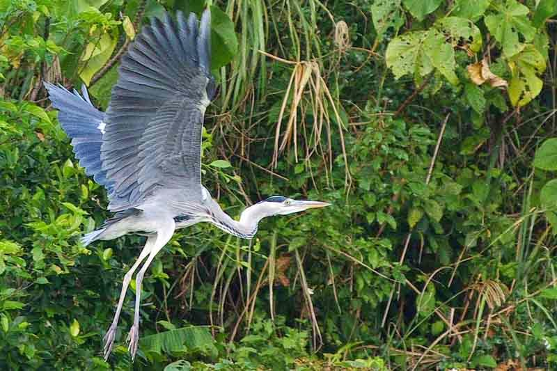 Grey Heron, wings up, legs down