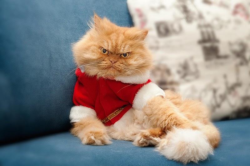 Gambar Kucing Parsi Related Keywords Gambar Kucing Parsi