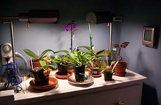 Las orqu deas de iv n arroyo my orchids in basque country - Humidificador para radiador ...