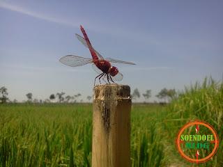 Capung Merah Suka di Foto
