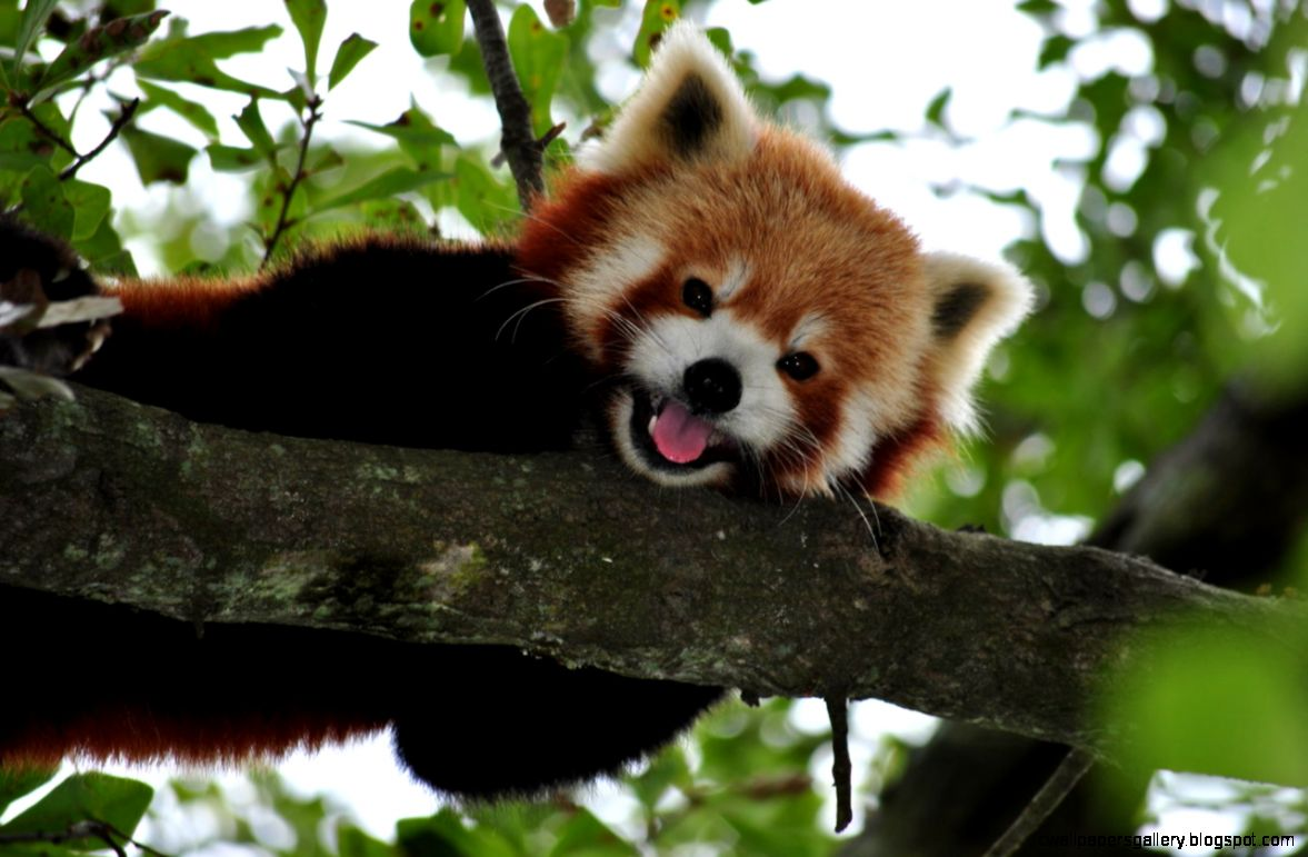 Red Panda Cute Photos 22 HD Images Wallpapers