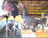 Harga ayam bangkok betina jenis ayam burma di thailand