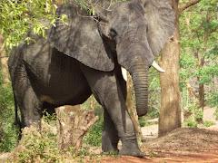 An Elephant in Uganda