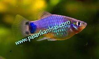 Jual Berbagai Jenis Ikan Platy Murah