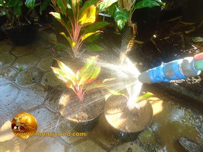 Penyiraman tanaman baru