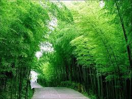 Fakta Unik Mengenai Bambu