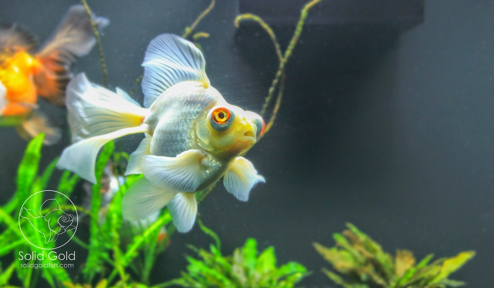 75 gallons of solid gold solid gold aquatics for Solid gold fish