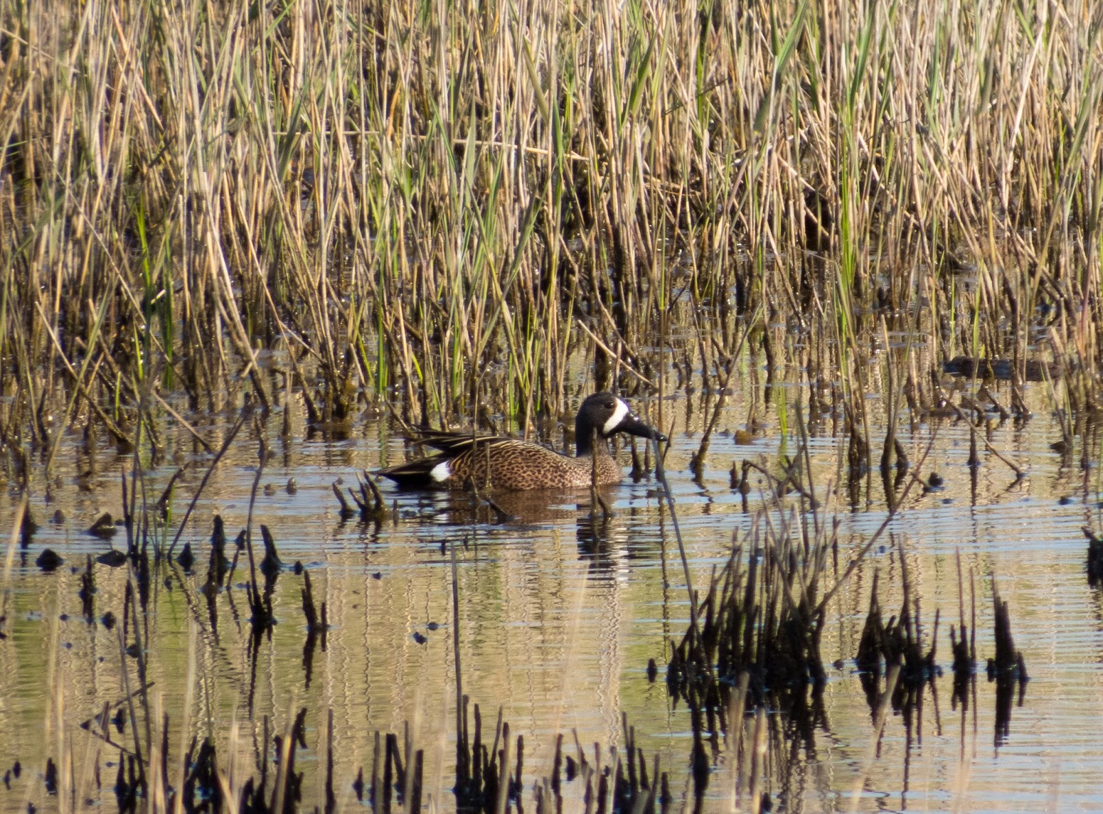 Blue-winged Teal, Donna Nook