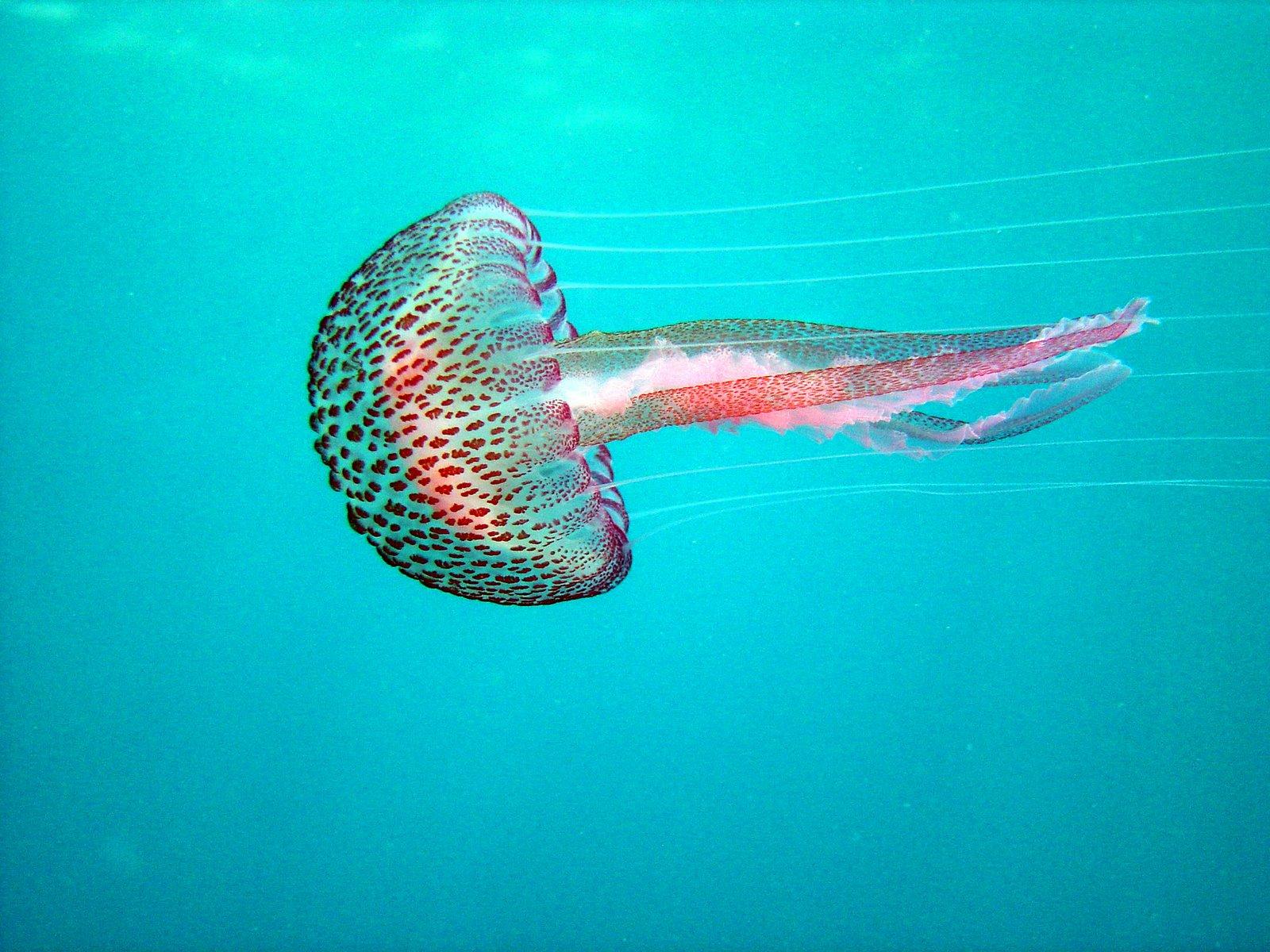 Medusas Del Mediterraneo Identifica Las Mas Venenosas likewise Blue Jellyfish 423992 as well Polipo  zoologia in addition White sea aliens 28 pics furthermore Linaspettata Efficienza Lo otoria. on celenterati