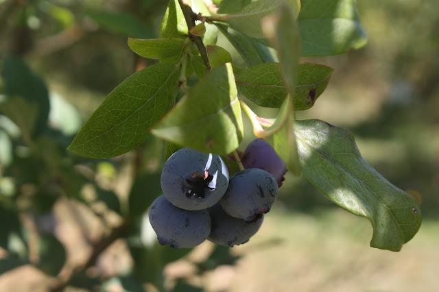 Blueberry on the bush