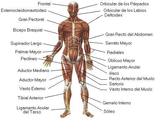 Cuerpo Humano: Musculos