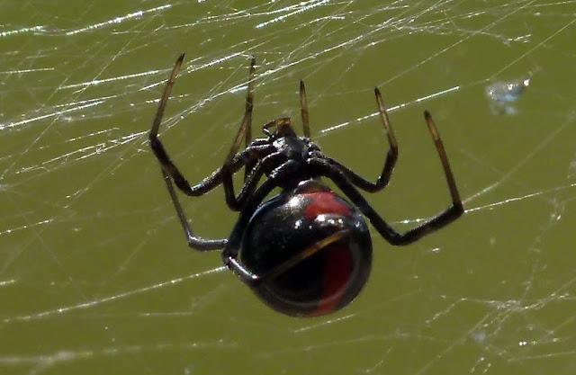 White Black Widow Spider
