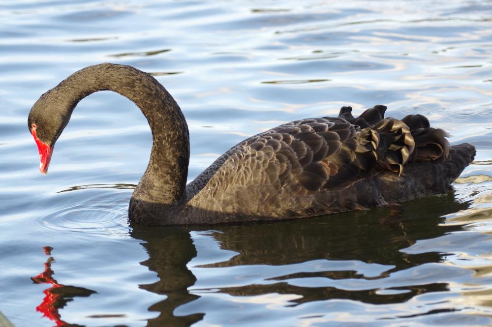 Swans Have Come Back >> Kensington Gardens And Hyde Park Birds
