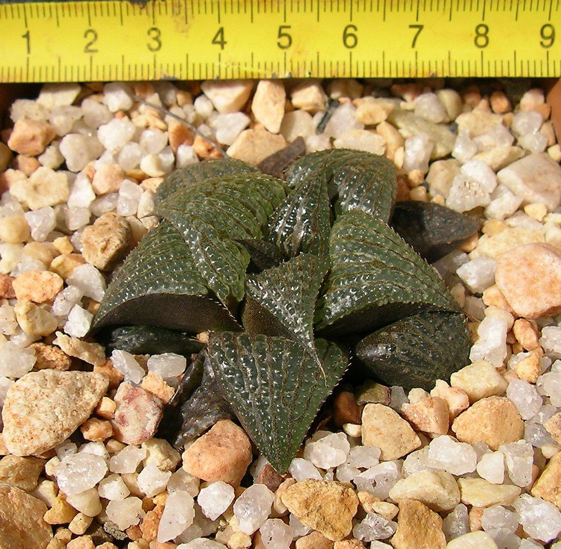Haworthia badia X H. marxii