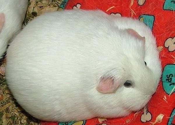 Tyk, fed hamster