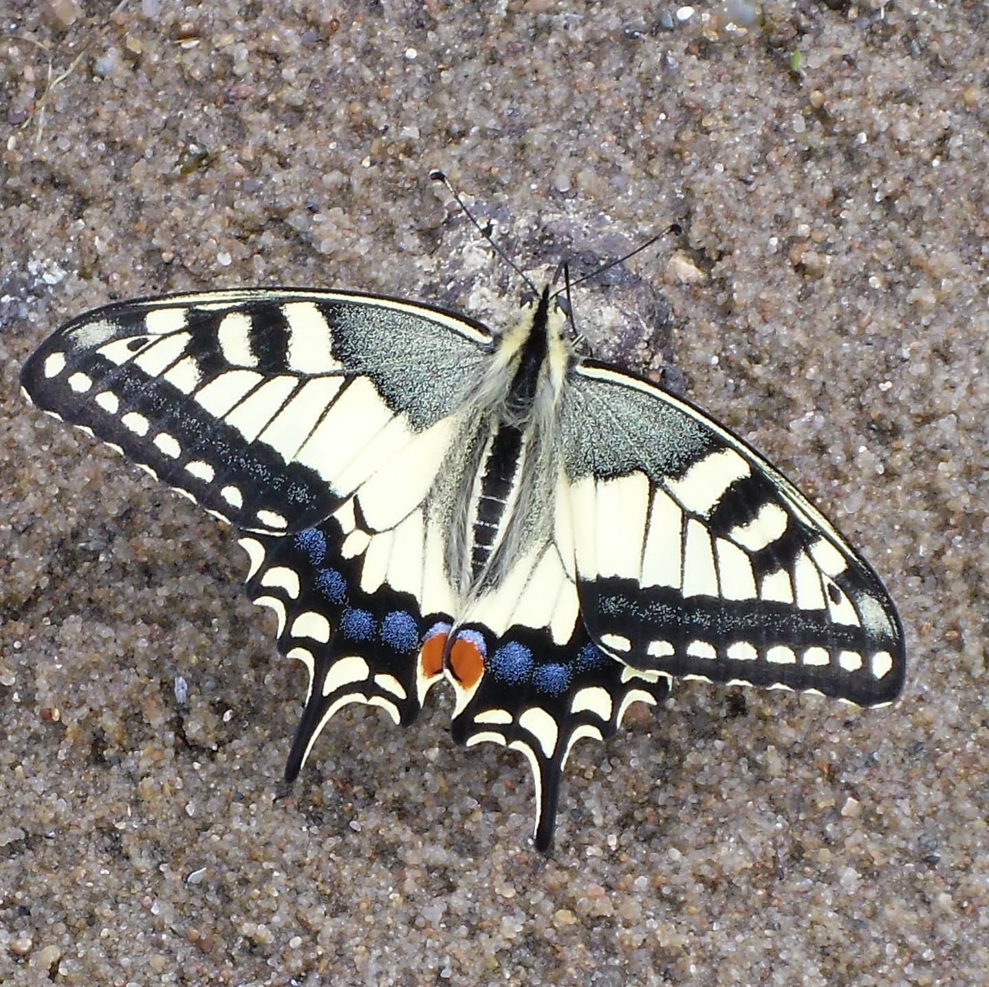 бабочка махаон на песке