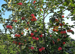 Яблоня Горноалтайская