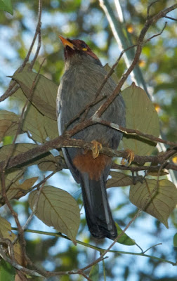Chestnut-hooded Laughingthrush (Rhinocichla treacheri)