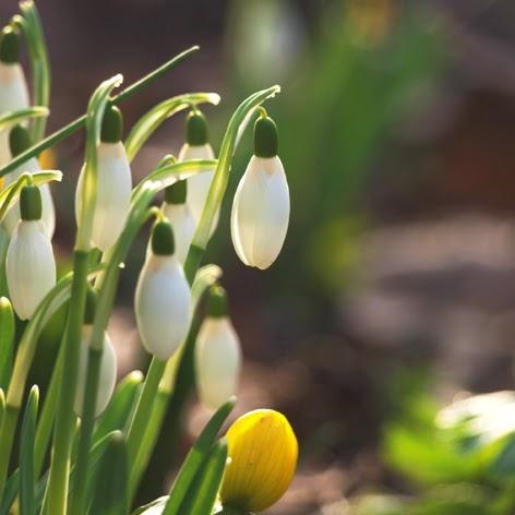 Vintergækker varsler forår i haven