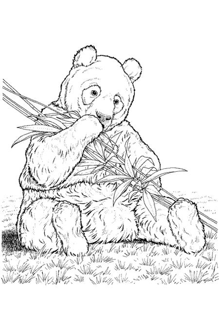 صورة دب كثيف الفرو يأكل النباتات وهو جالس على الارض للتلوين