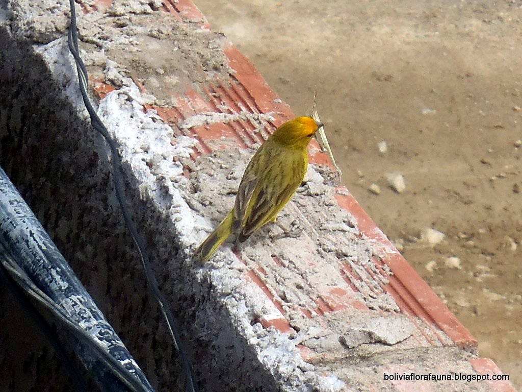 Bolivian Flora and Fauna: The Ubiquitous Finch