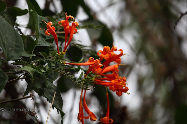 Plicosepalus sp?