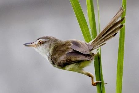 budidaya burung tips cara merawat ciblek agar lincah dan