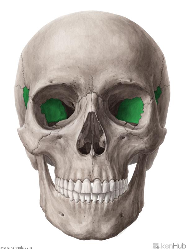 Орбитальная поверхность больших крыльев клиновидной кости