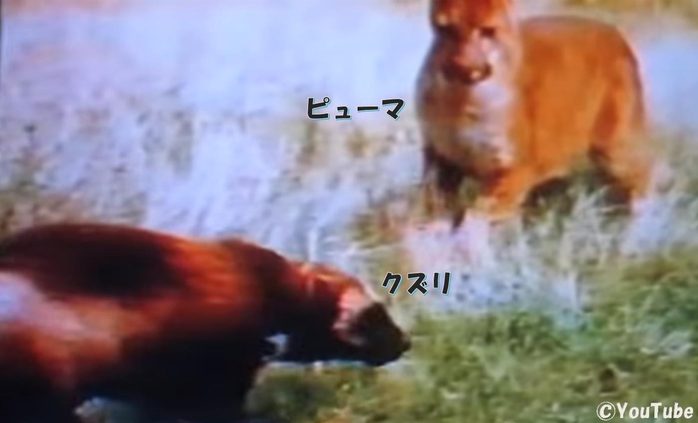 クズリの画像 p1_11