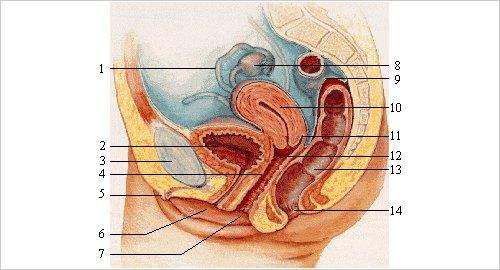 tipos de orgasmos femininos sistema reprodutor feminino