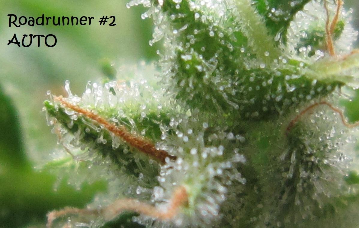 Automatisch Blühende Cannabis Samen