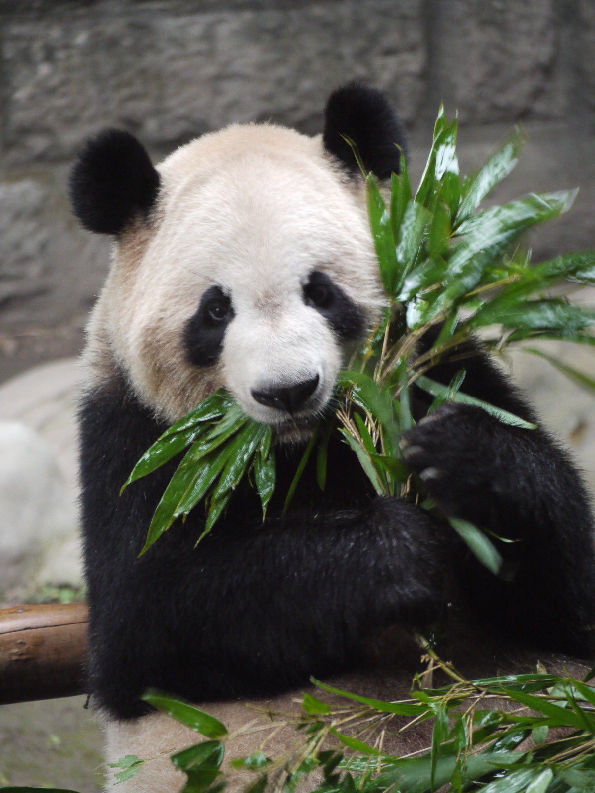 Little panda: a beautiful animal that is dying out 29